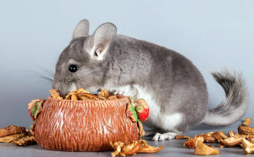 Чем кормить шиншиллу в домашних условиях? чем кормить шиншиллу можно, а чем нельзя?