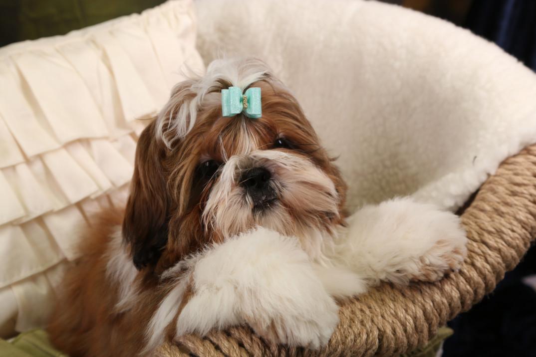 Легендарная собака ши-тцу: стандарт породы и описание характера, особенности ухода и кормления, фото и цена