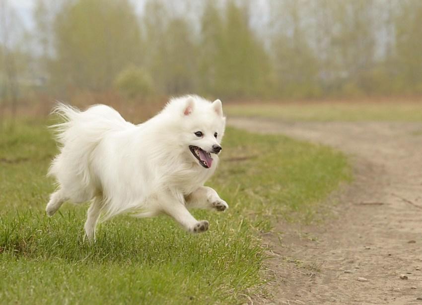 Американский эскимосский шпиц: фото собаки и сколько стоит карликовый или той