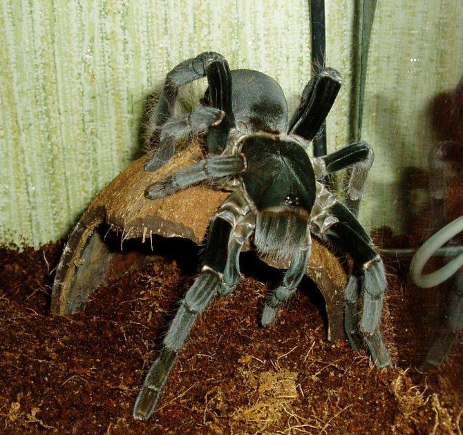 Паук птицеед. описание, особенности и среда обитания паука птицееда   животный мир