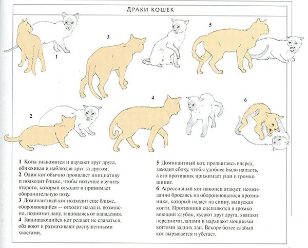 Половое созревание у кошек: продолжительность и особенности