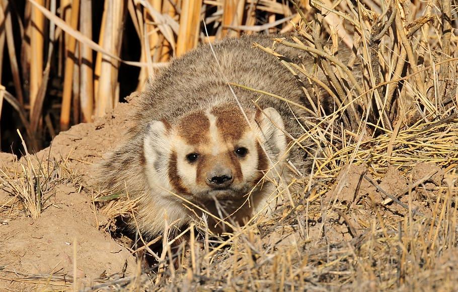Барсуки: где живут и чем питаются в дикой природе :: syl.ru
