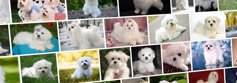 Русская цветная болонка: все о собаке, фото, описание породы, характер, цена