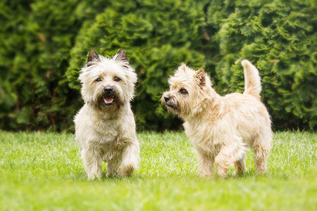 Керн-терьер описание породы собак, фото и видео материалы, отзывы о породе