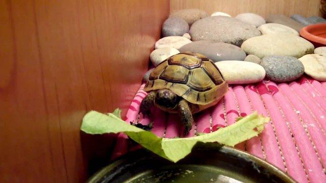 Сколько и как часто кормить красноухих черепах