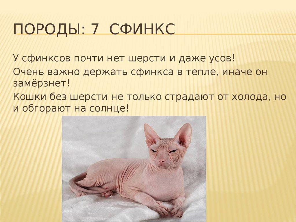 Донской сфинкс ???? фото, описание, характер, факты, плюсы, минусы кошки ✔