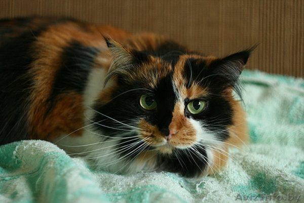 Описание пород и содержание трехцветных кошек