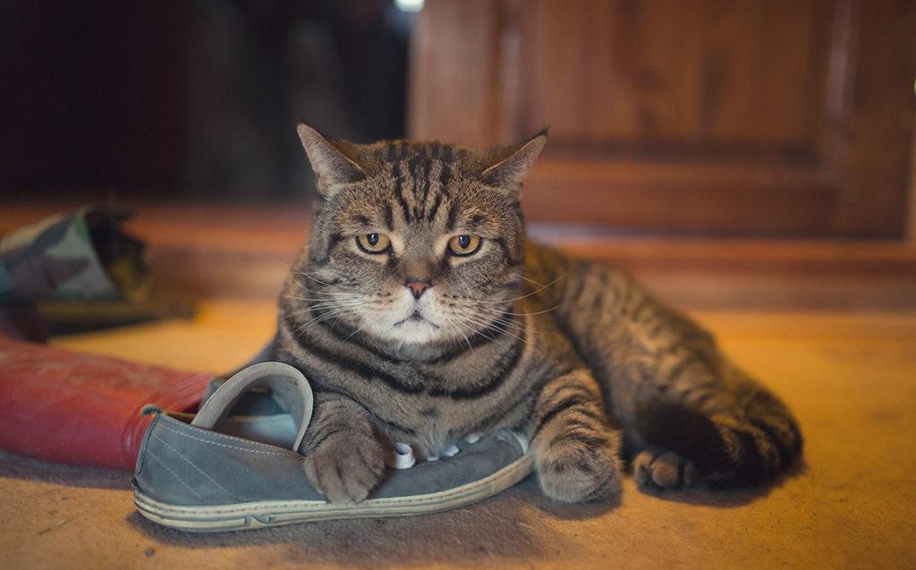 Как научить кота давать лапу: методы дрессировки