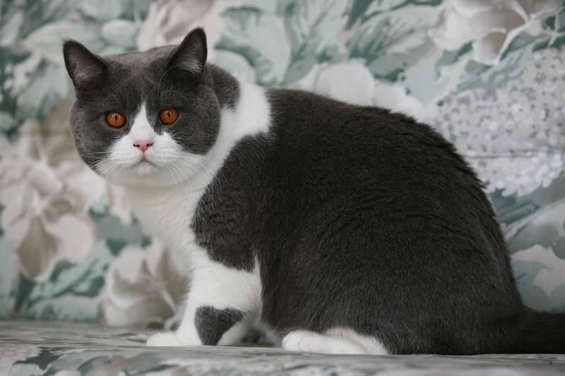 Серый кот с белыми лапками какая порода