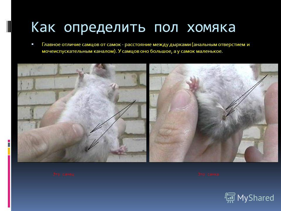 Джунгарский хомяк. образ жизни и среда обитания джунгарского хомяка