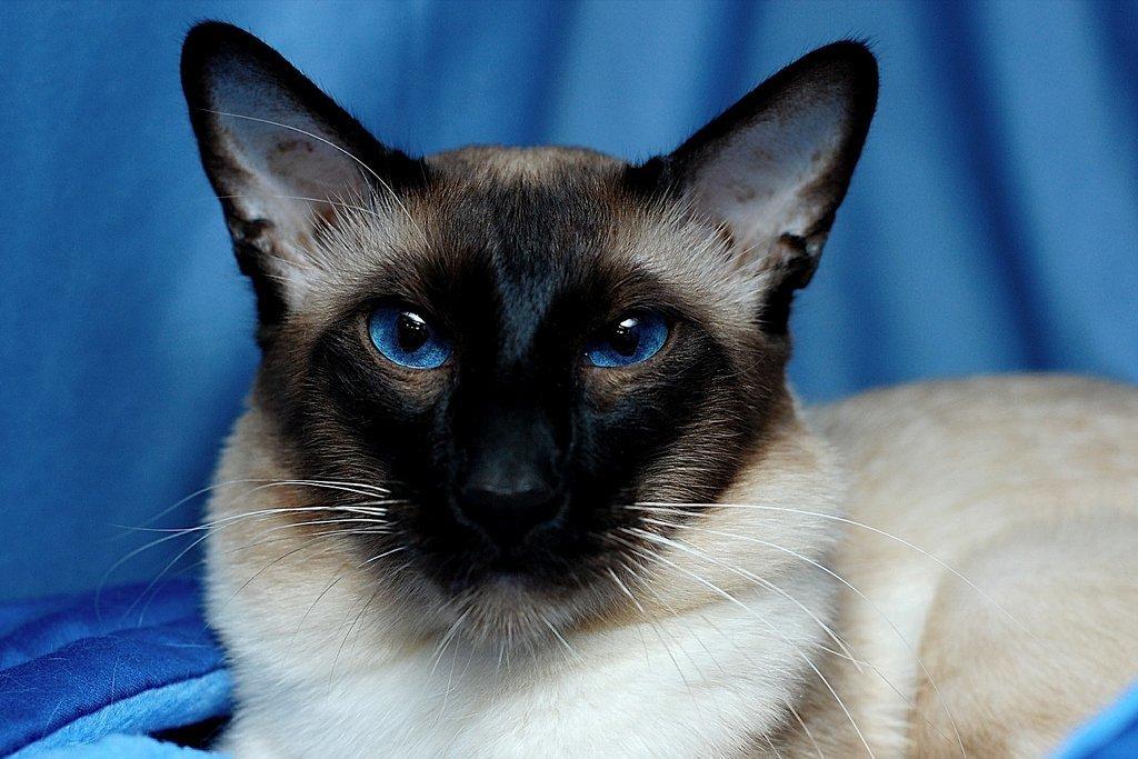 Балинезийская кошка: фото, описание породы, характер, цены