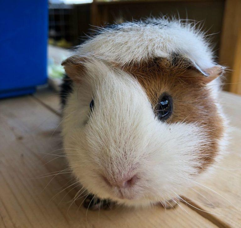 Морская свинка (cavia porcellus): интересные факты, фото, виды