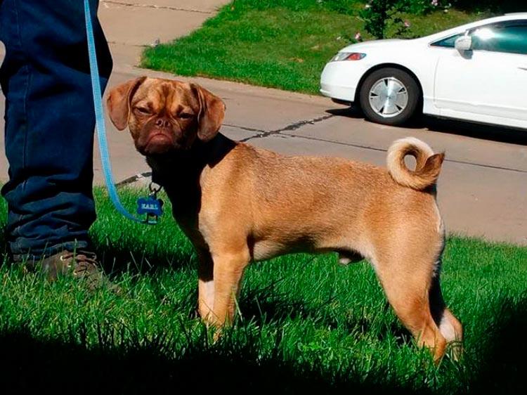 Пагль: описание, характер, фото породы | все о собаках