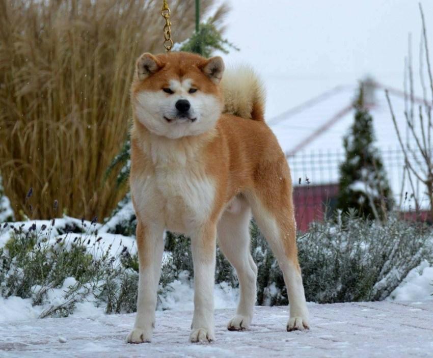 Акита — порода собаки из фильма хатико