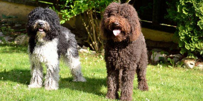 Французская водяная собака(барбет): описание породы, характер, фото   все о собаках