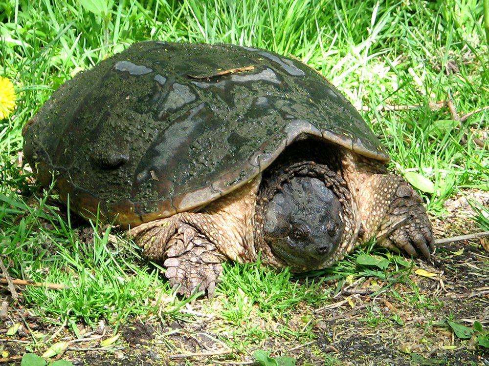 Мускусная черепаха:описание, содержание в домашних условиях, фото