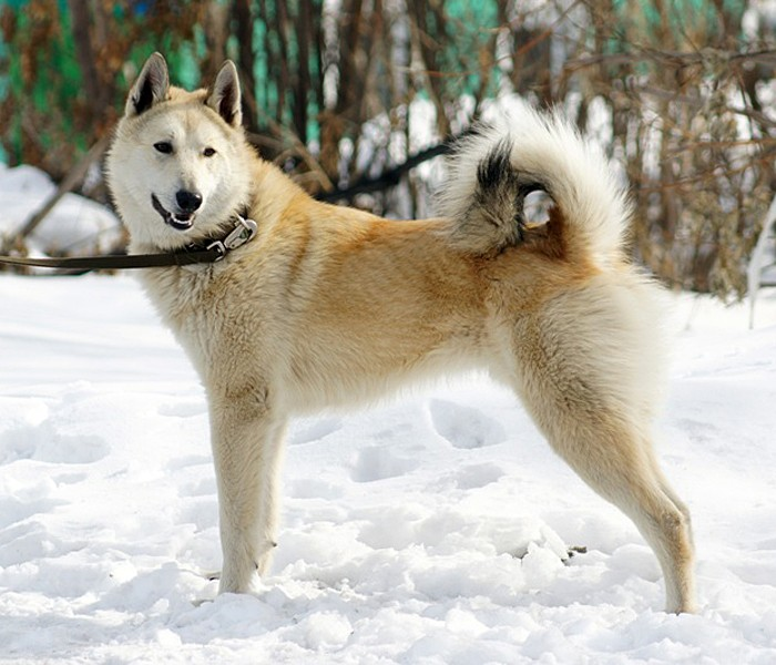 Западно-сибирская лайка: описание породы, характер собаки и щенка, фото, цена