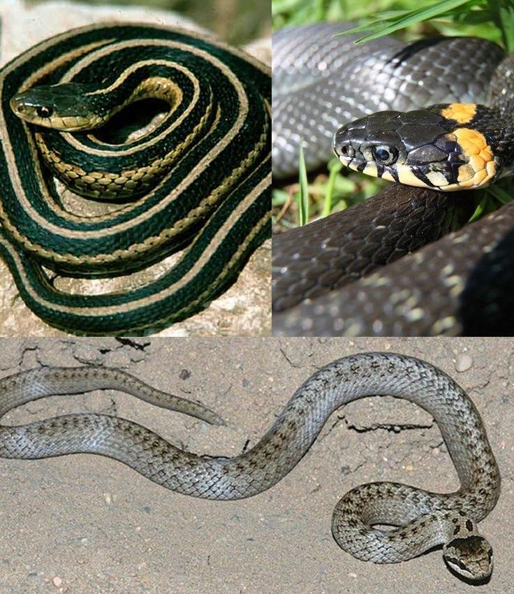 Змеи кавказа: фото, виды, описание