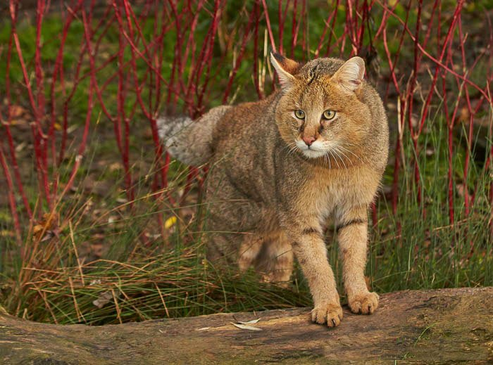 Камышовый кот: ареал обитания и повадки
