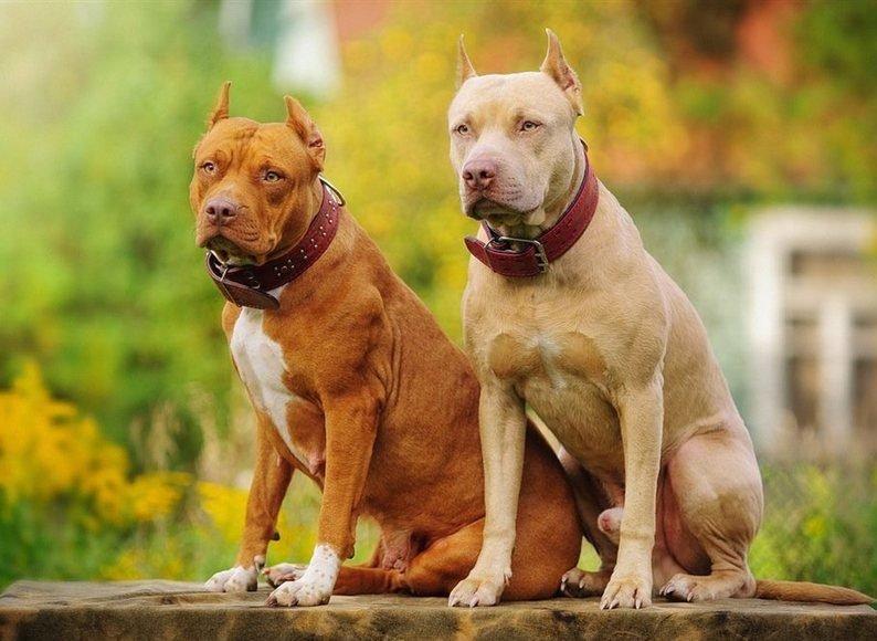 Бойцовые собаки (69 фото): названия пород с бойцовскими качествами, список больших боевых собак, виды самых сильных терьеров, клички для маленьких белых и черных щенков