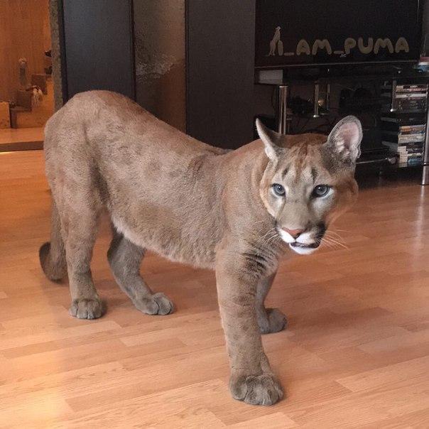 Чаузи — подробное описание породы и характер присущий породе. 120 фото и описание внешности кошек
