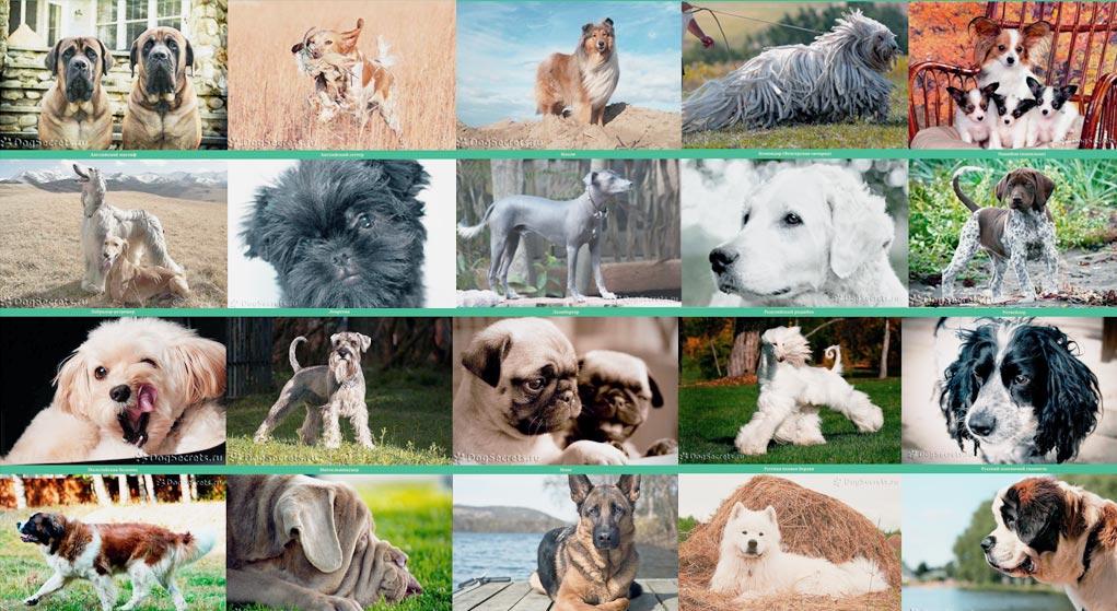Сколько всего существует пород собак