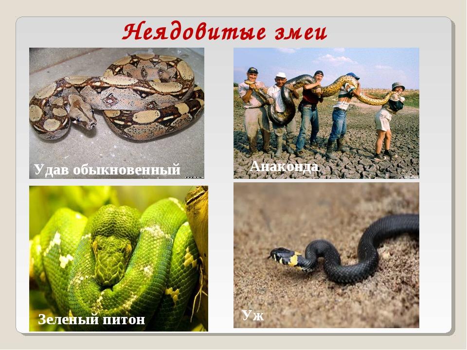Виды змей и их описание с фото :: syl.ru