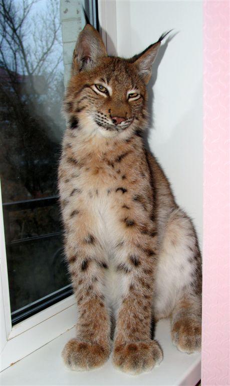 Кошка похожая на рысь: породы, их особенности и фото