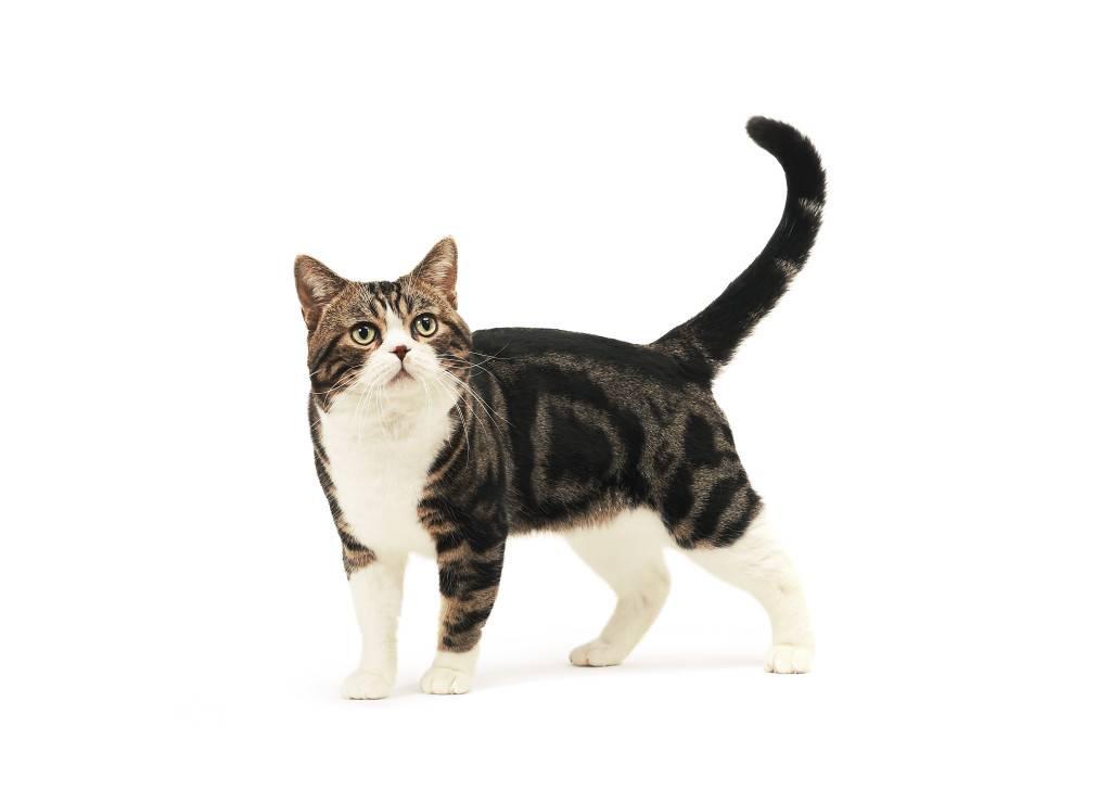 Американские жесткошерстные кошки: описание породы, характер, здоровье