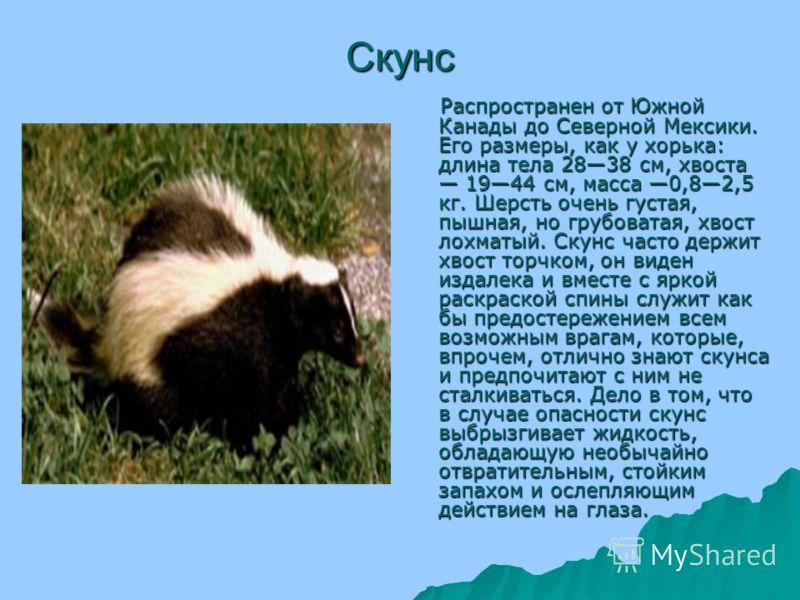 ᐉ где могут обитать полосатые скунсы: где живет и чем питается зверек - zoovet24.ru