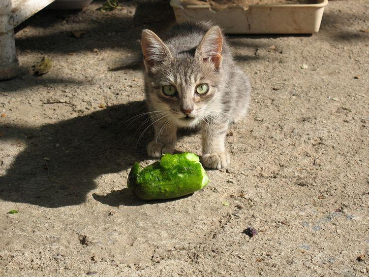 Как долго проходит желтуха у кошек – симптомы,  лечение желтухи у котов в ветклинике зоостатус