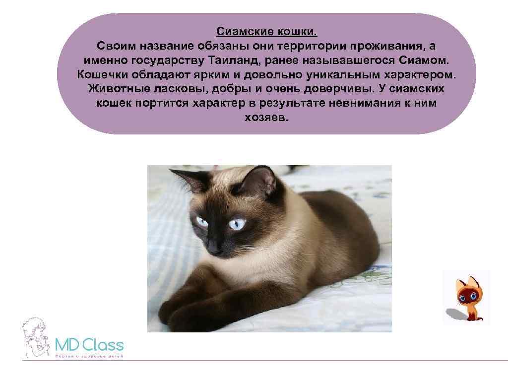 Сиамская кошка (120 фото): обзор породы, интересные факты, внешний вид, цена котят, что едят, сколько живут, повадкий