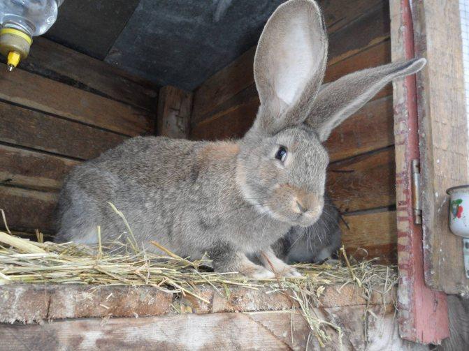 Кролик породы фландр. описание, особенности, уход и содержание   живность.ру