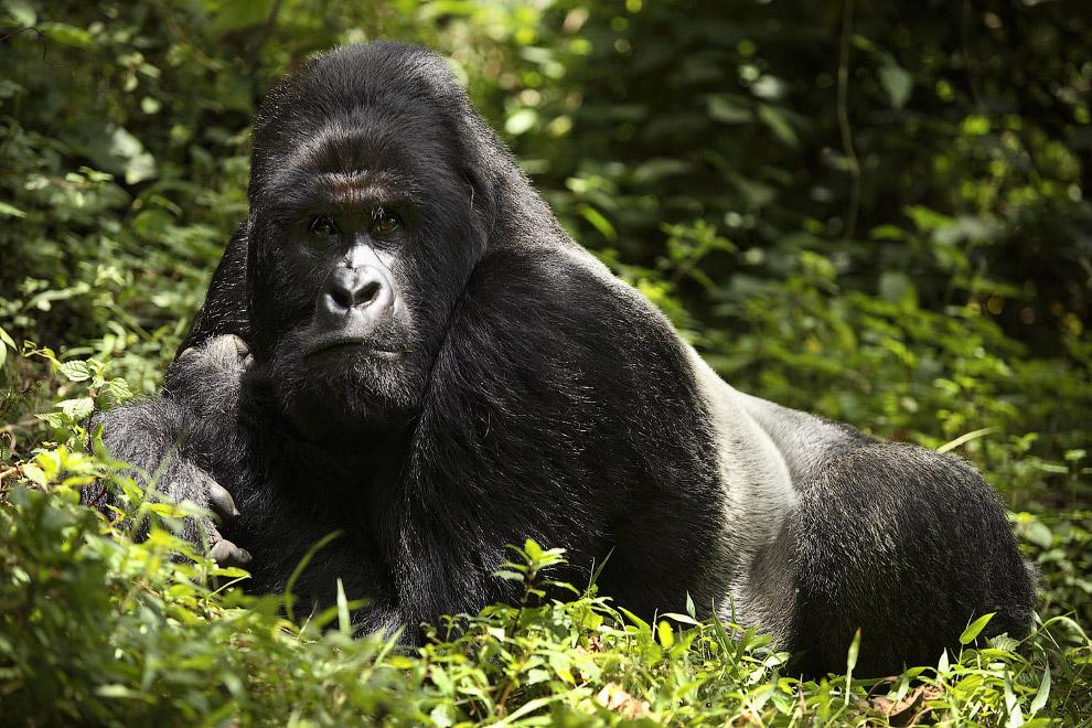 Горилла: виды, фото, описание, места обитания, образ жизни в дикой природе