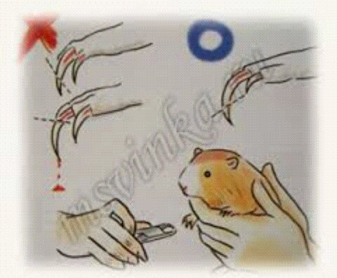 ᐉ можно ли стричь морскую свинку: расчесывание и груминг - zoopalitra-spb.ru