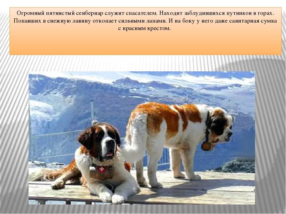 Знаменитые собаки-спасатели их истории и подвиги