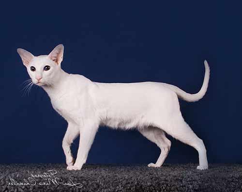 Форин вайт — описание породы кошек