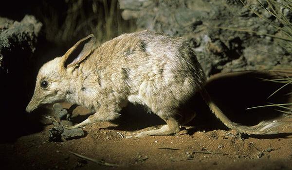 Интересные факты о кроличьем бандикуте