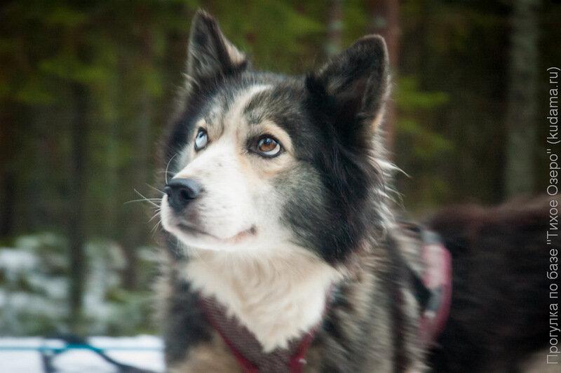 Какие породы ездовых собак бывают: перечень признанных и непризнанных разновидностей, особенности характера, содержания и ухода