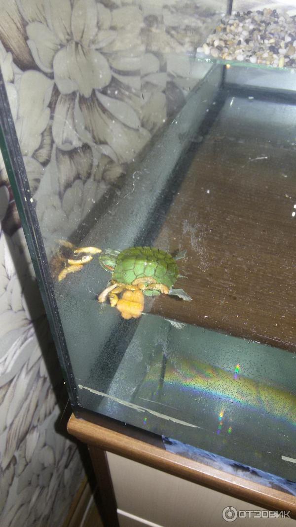Как выбрать аквариум для красноухой черепахи