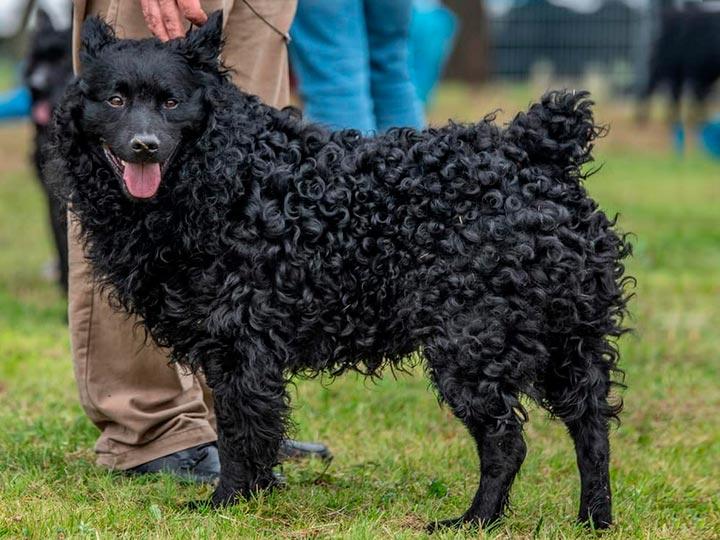 Виды овчарок и их разновидности с фото, чем отличаются овчарки | for-pet