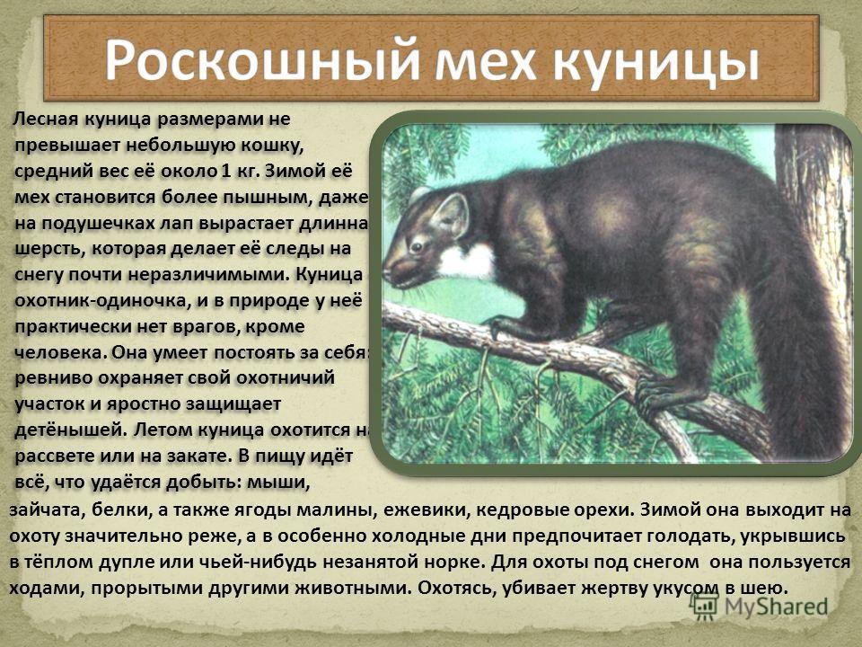 Охота на куницу и её особенности   животный мир