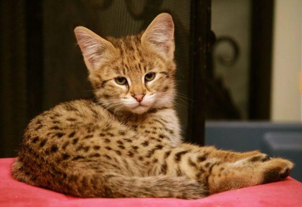 Кошка ашера: особенности и характеристики породы - мир кошек