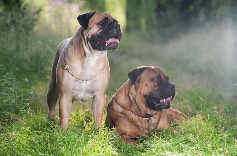 Бульмастиф: фото, описание породы собак, характер и цены
