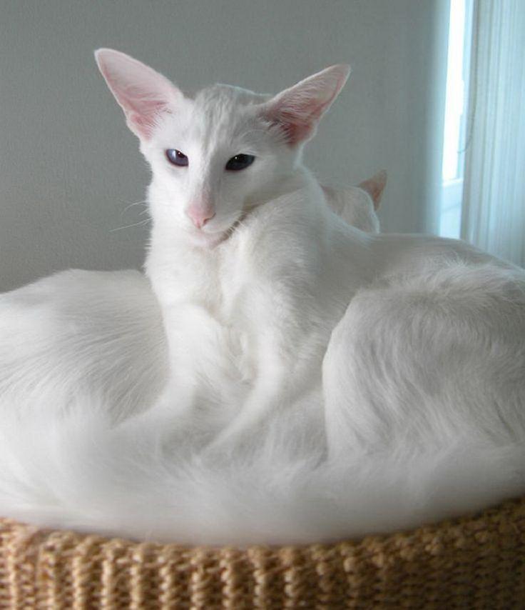 Форин вайт: описание породы кошек, уход, цена