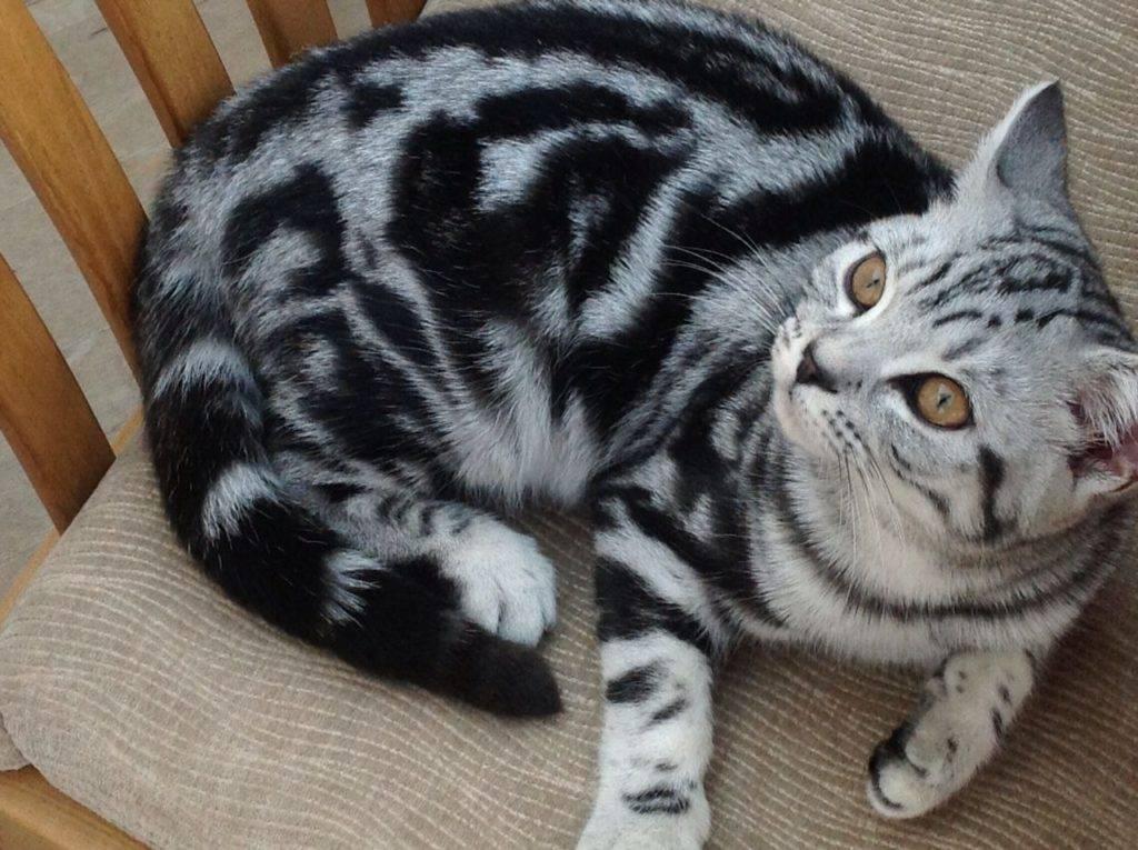 Полосатые коты: особенности, породы, выбор и уход