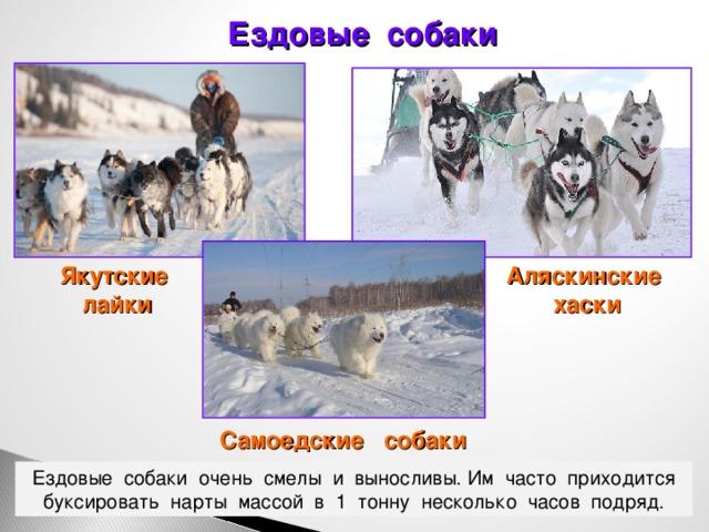 """Породы собак для ездового спорта   блог ветклиники """"беланта"""""""