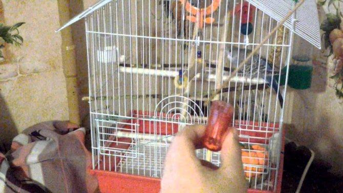 Как приручить волнистого попугая к рукам: советы новичку