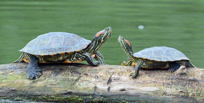 Сухопутная черепаха - где живет, что ест, содержание и уход