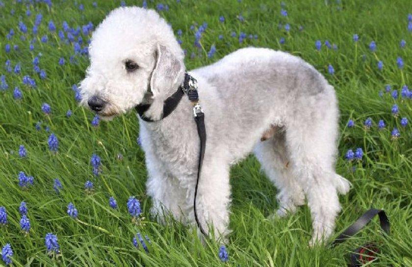 Описание породы собак бедлингтон терьер с отзывами владельцев и фото